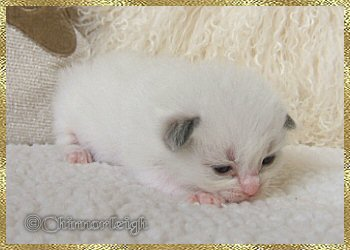 Belles blue high mitted bi-colour boy