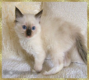 Belles seal mitted girl at 8 weeks of age
