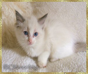 Belles blue high mitted boy at 8 weeks of age