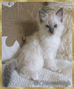 Queenies blue mitted boy 2 at 7 weeks