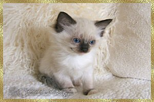 Queenies seal mitted boy 2 at 7 weeks