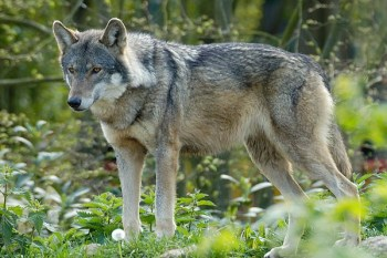 Feed the Wolves at Paradise Wildlife Park for One
