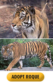 Adopt a tiger - Roque from the Born Free Foundation