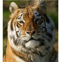 Adopt a Tiger at the Isle of Wight Zoo