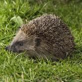 Hedgehog singing card