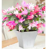 Christmas Cactus Plant - Mixed