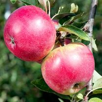 Click here to visit Suttons Seeds to give a fruit tree