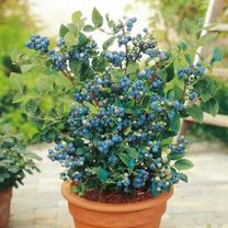 Click here to see the selection of blueberry plants from Suttons Seeds