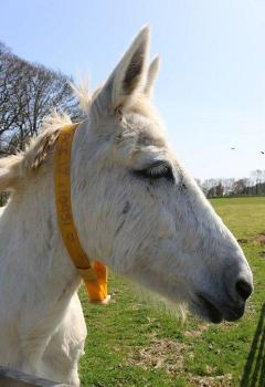 Adopt a Mule from the Donkey Sanctuary