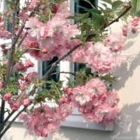 Dwarf Japanese Flowering Cherry Tree Gift