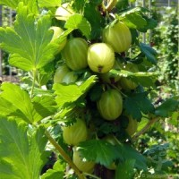 Gooseberry Bush Gift