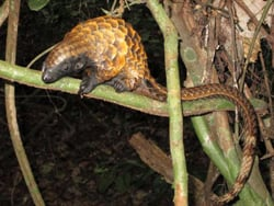 Adopt a Pangolin from the Born Free Foundation