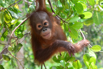 Swing over to the Orangutan Foundation's website here