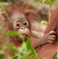 Click here to adopt an orangutan