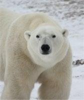 Adopt a polar bear from the Born Free Foundation