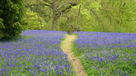 Enjoy carpets of bluebells in spring time