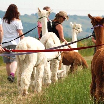 Go Alpaca Trekking in Kent