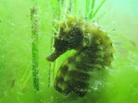 Adopt a seahorse