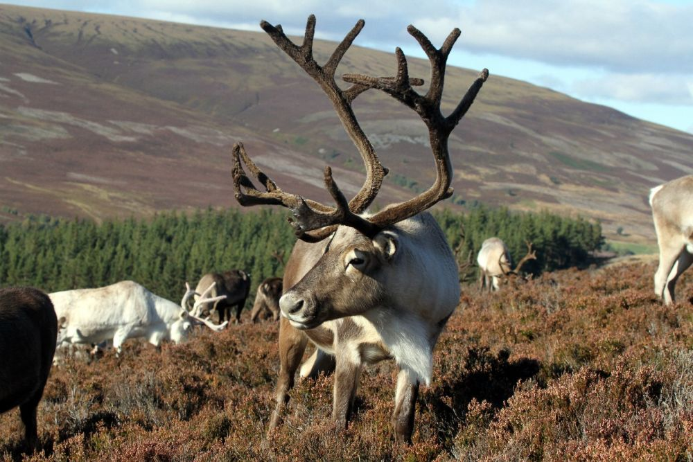 Adopt a Reindeer in the Cairngorms National Park