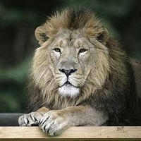 Adopt Lucifer the Lion now