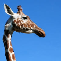 Adopt wild animals such as Elish the giraffe
