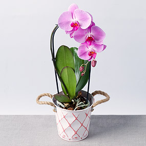 Cascade Phalaenopsis Orchid