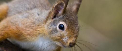 Adopt a red squirrel with a Wildlife Trust