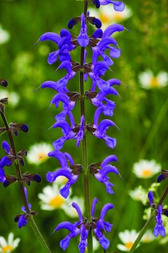 Adopt a Meadow Clary