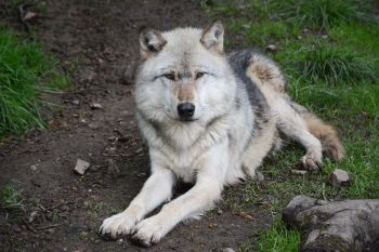 Wolf Encounter and Howl Experience at Darmoor Zoo in Devon
