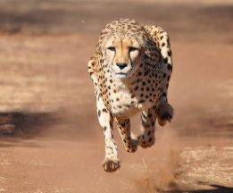 Running Cheetah Canvas Print