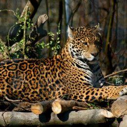 Panthera Jaguar Poster