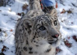 Snow Leopard Card from Zazzle