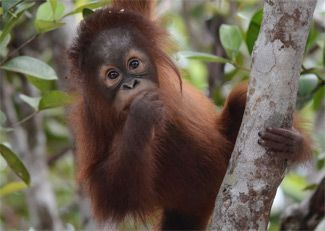 Adopt Mona with the Orangutan Foundation