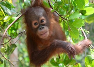 Adopt Okto with the Orangutan Foundation