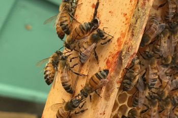 Beekeeping Experience with Lunch