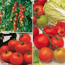 Grafted Tomato Plants - F1 Crimson Collection from Suttons