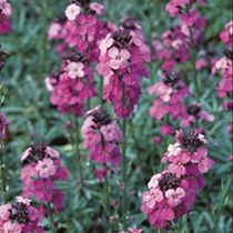 Encourage bees and butterflies to your garden with these Bowles Mauve plants