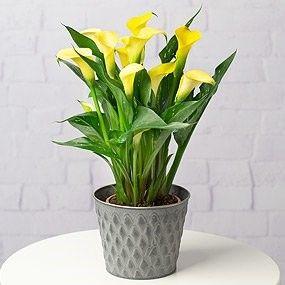Yellow Calla Lily Plant