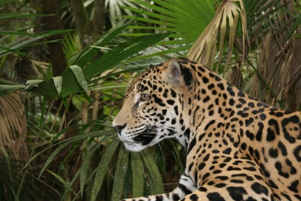 The Jungle for Jaguars Appeal for jaguars and other wildlife in Belize