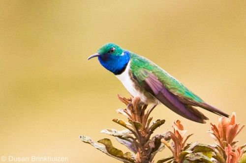 In Ecuador, protecting the Blue-throated Hillstar's habitat f