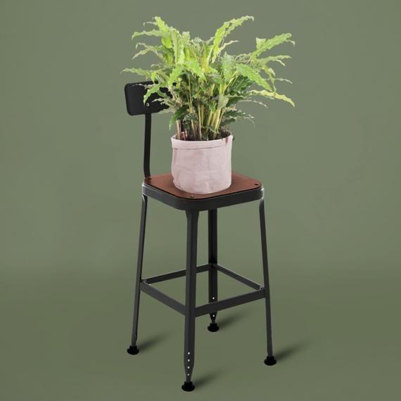 Send a Calathea Plant