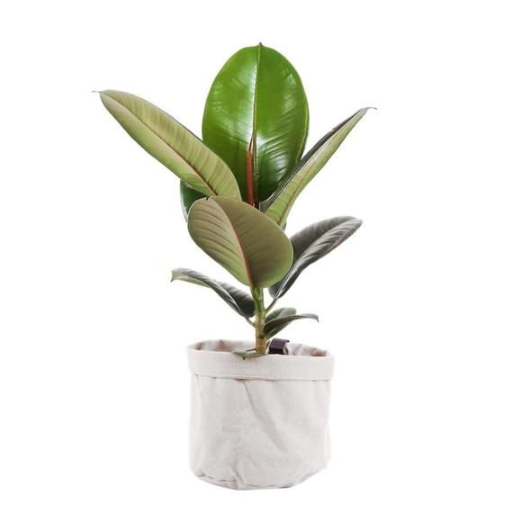 Send a Rubber Plant