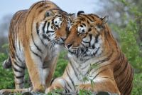 BAG Campaign Sept 2019 Feed big cats by hand PWP
