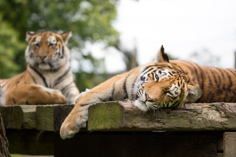 Up-Close Tiger Encounter for Two at Woburn Safari Park in Bedfordshire
