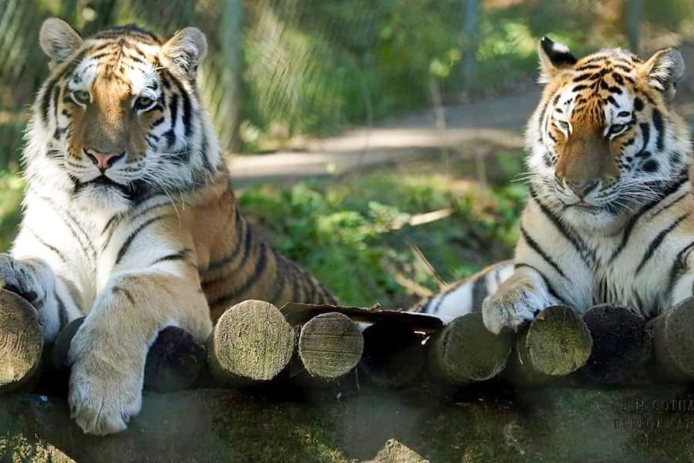 A great opportunity at Dartmoor Zoo to find out more about tigers