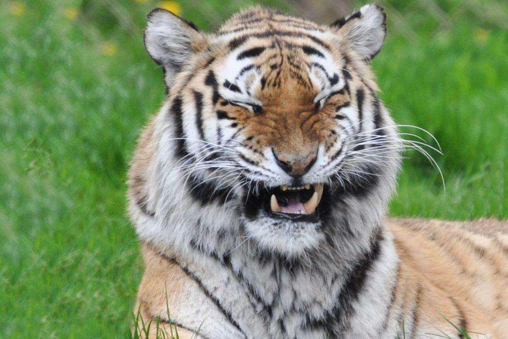 2 for 1 Tiger Encounter at Dartmoor Zoo in Devon
