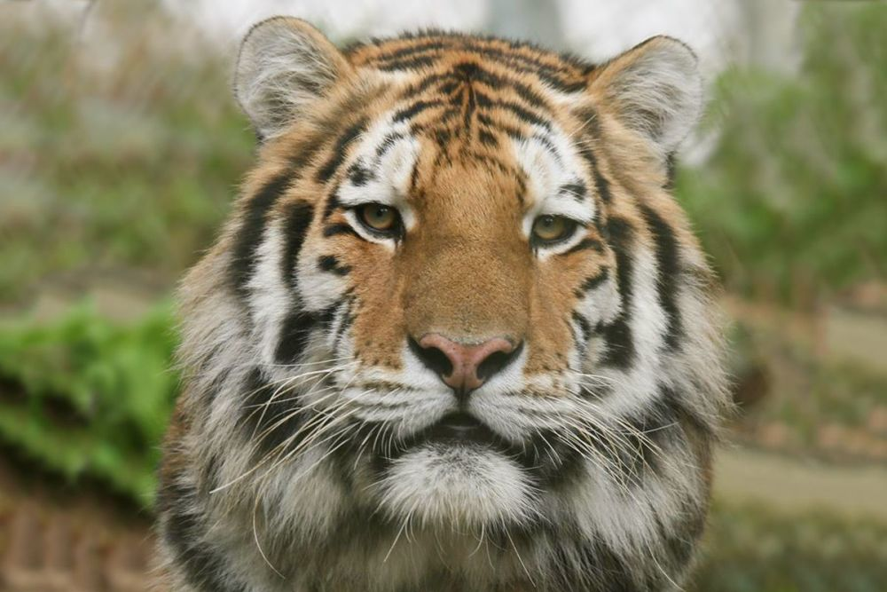 Come face to face with a Siberian Amur Tiger