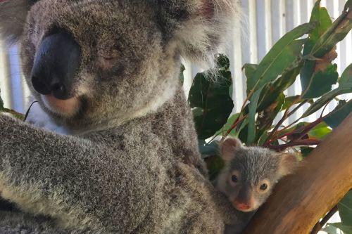 Help koalas in Australia