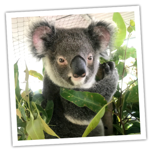 Adopt Charlotte from Friends of the Koala