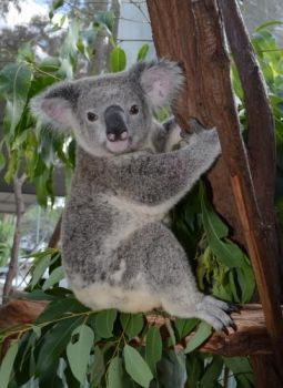 Adopt Grant from the Save the Koala